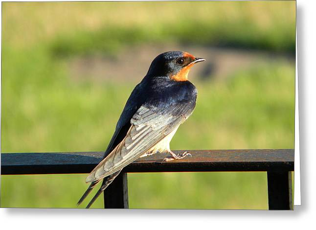 Barn Swallow Greeting Card by James Petersen