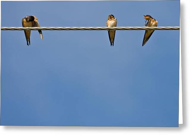 Barn Swallows Greeting Card by Melinda Fawver