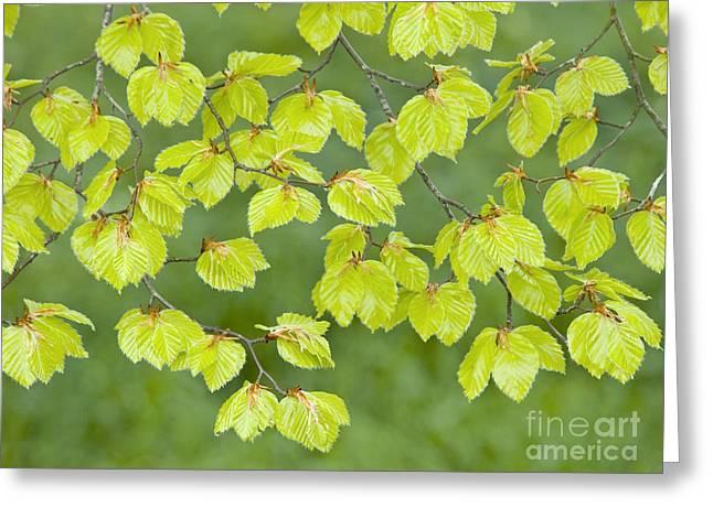Beech Tree Leaves Fagus Sylvatica Greeting Card