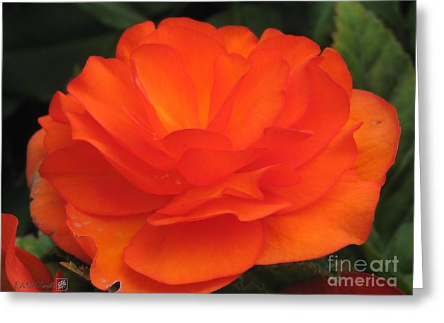 Begonia Named Nonstop Apricot Greeting Card by J McCombie