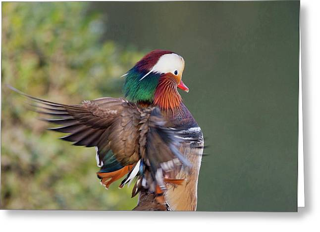 Beijing China, Male Mandarin Duck Greeting Card by Alice Garland