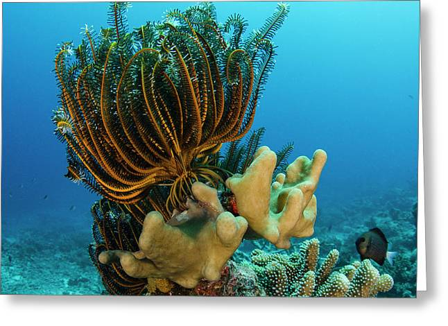 Bennett's Feather Star (oxycomanthus Greeting Card