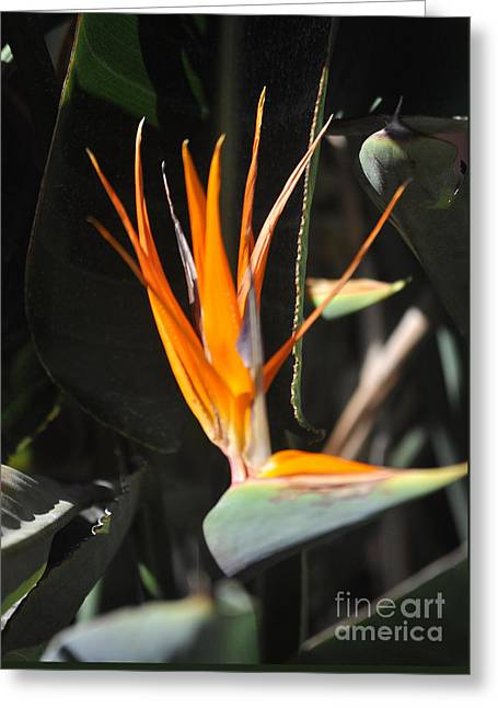 Bird Of Paradise Greeting Card by Jay Milo