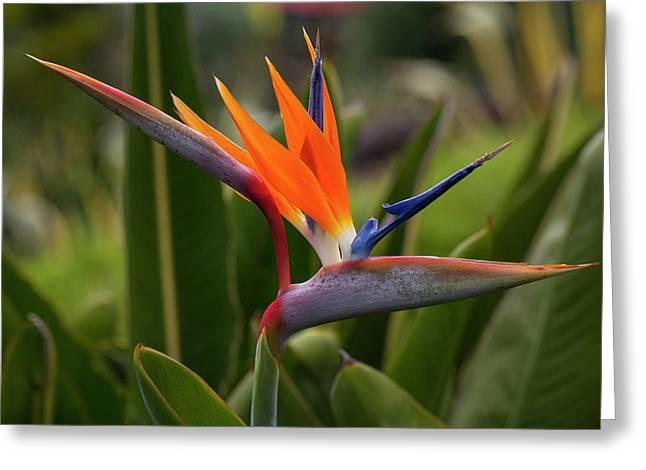 Bird Of Paradise, Kula Botanical Greeting Card by Douglas Peebles