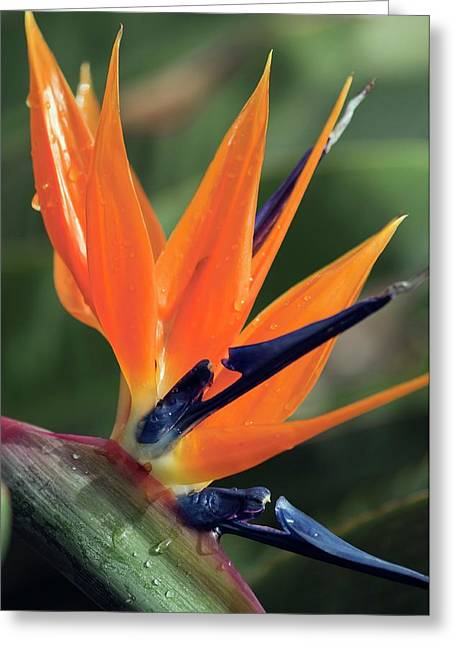 Bird Of Paradise (strelitzia Reginae) Greeting Card by Maria Mosolova