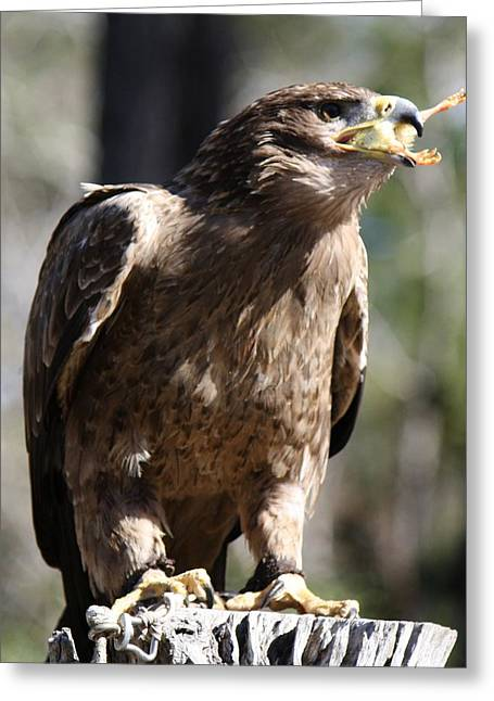 Bird Of Prey Greeting Card by Paulette Thomas