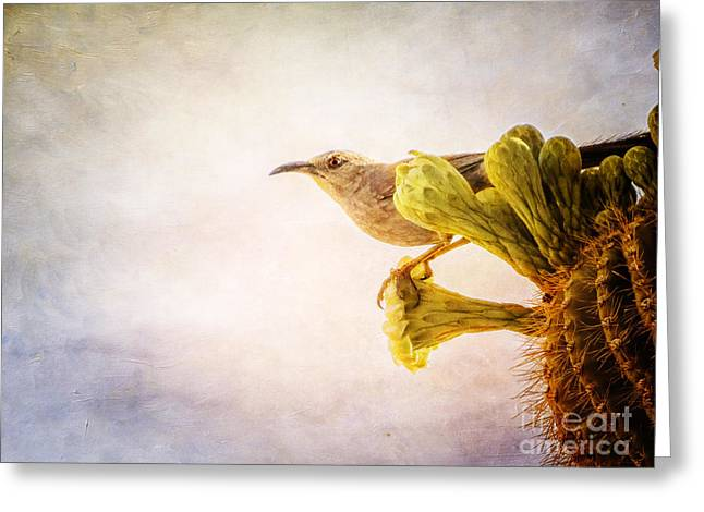 Curved-billed Thrasher Greeting Card