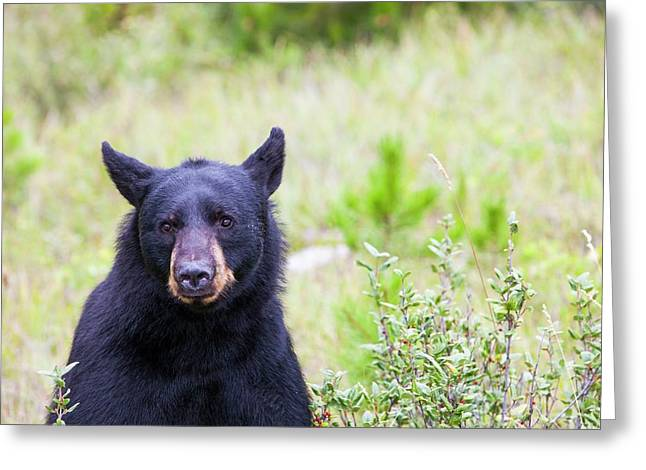 Black Bear Greeting Card by Ashley Cooper