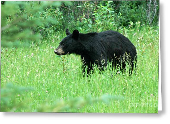 555p Black Bear Greeting Card