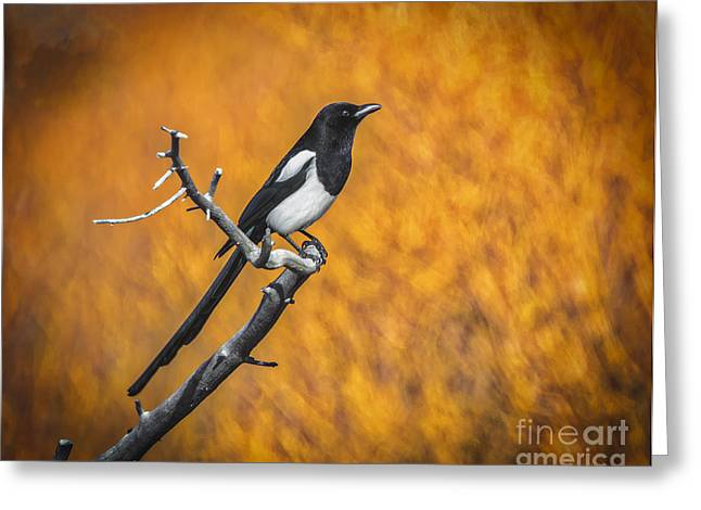 Black Billed Magpie Greeting Card by Mitch Shindelbower