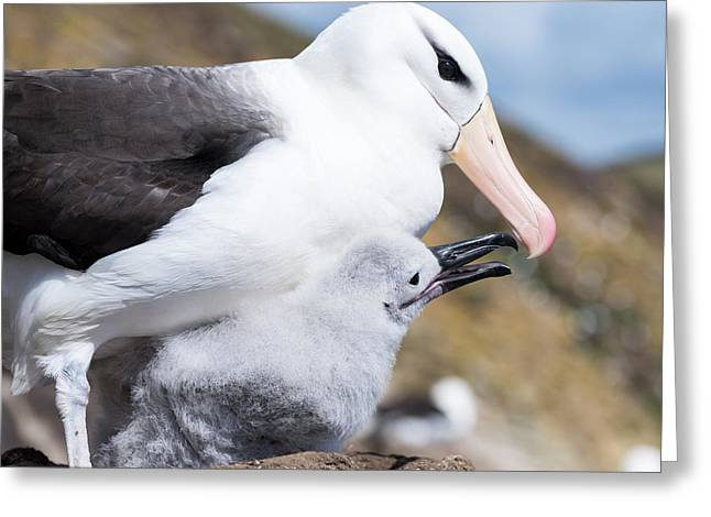 Black-browed Albatross (thalassarche Greeting Card by Martin Zwick