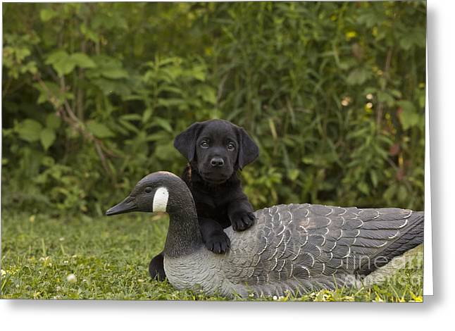 Black Labrador Retriever And Goose Decoy Greeting Card by Linda Freshwaters Arndt