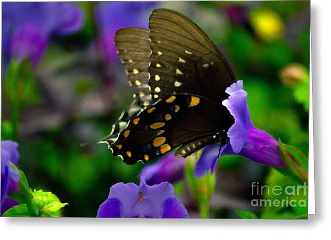 Black Swallowtail Greeting Card