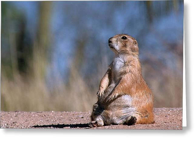 Black-tailed Prairie Dog (cynomys Greeting Card