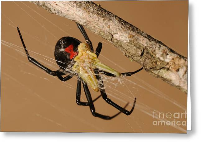 Black Widow Spider Greeting Card by Scott Linstead