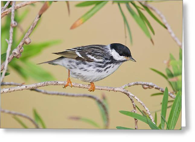 Blackpol Warbler (dendroica Striata Greeting Card by Larry Ditto