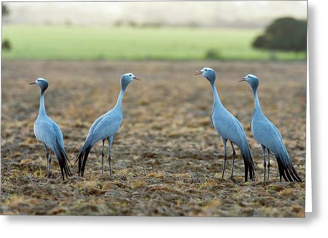 Blue Cranes Greeting Card by Peter Chadwick
