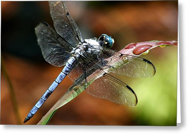 Greeting Card featuring the photograph Blue Dragonfly by Kelly Nowak