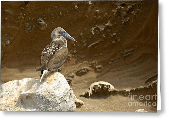 Blue-footed Booby Greeting Card by Sami Sarkis