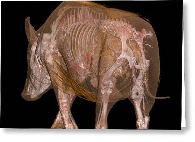 Boar Anatomy Greeting Card