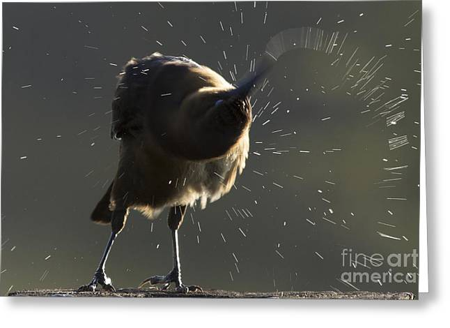 Boat Tailed Grackle Greeting Card by Meg Rousher
