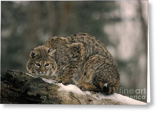 Bobcat Felis Rufus Greeting Card