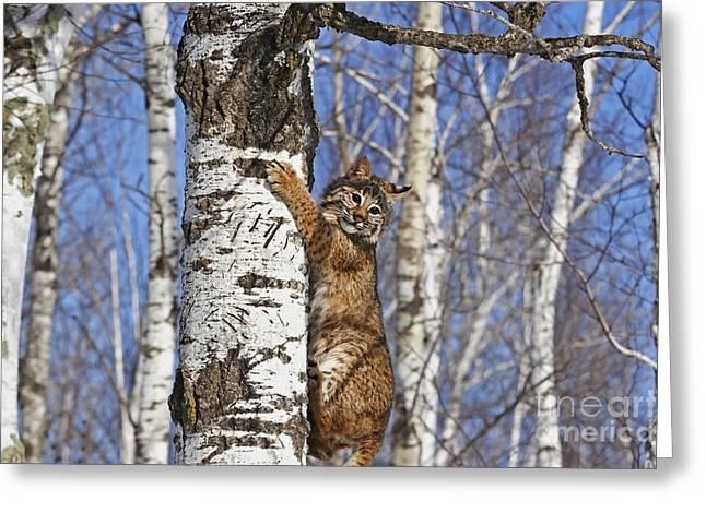 Bobcat Greeting Card by Linda Freshwaters Arndt
