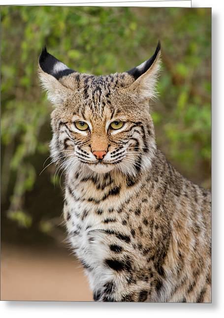 Bobcat (lynx Rufus Greeting Card