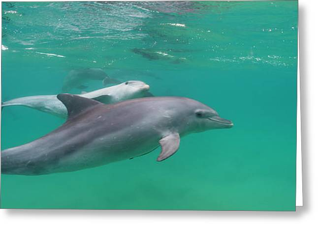 Bottle-nosed Dolphin Tursiops Truncatus Greeting Card by Panoramic Images