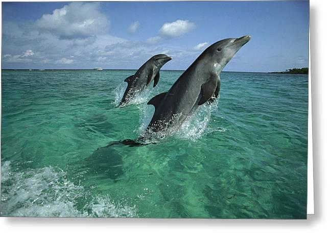 Bottlenose Dolphin Pair Leaping Honduras Greeting Card
