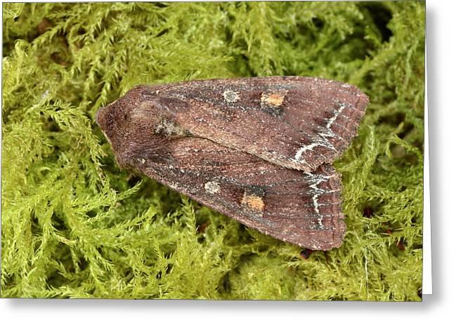 Bright-line Brown-eye Moth Greeting Card by Nigel Downer