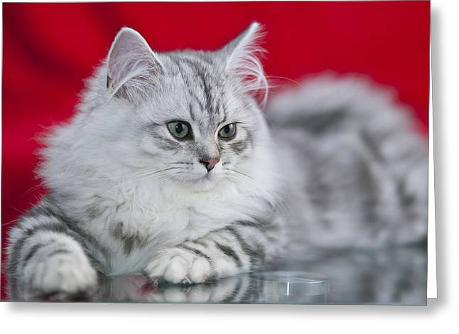 British Longhair Kitten Greeting Card by Melanie Viola