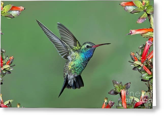 Broad-billed Hummingbird Greeting Card by Anthony Mercieca