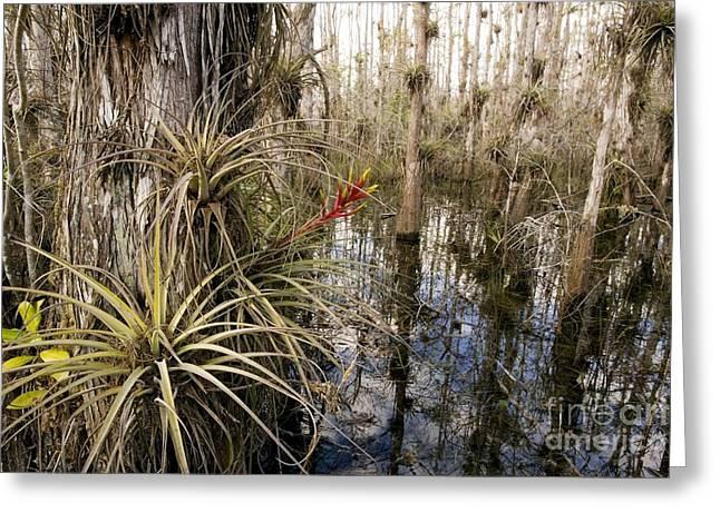 Bromeliad Tillandsia Fasciculata Greeting Card by Bob Gibbons