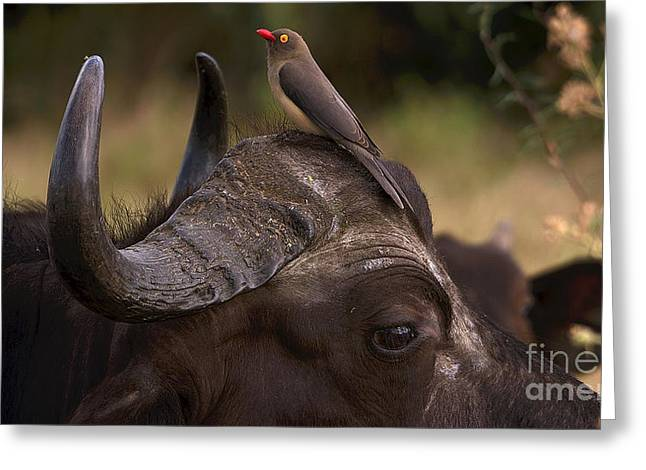 Buffalo And Oxpecker Greeting Card
