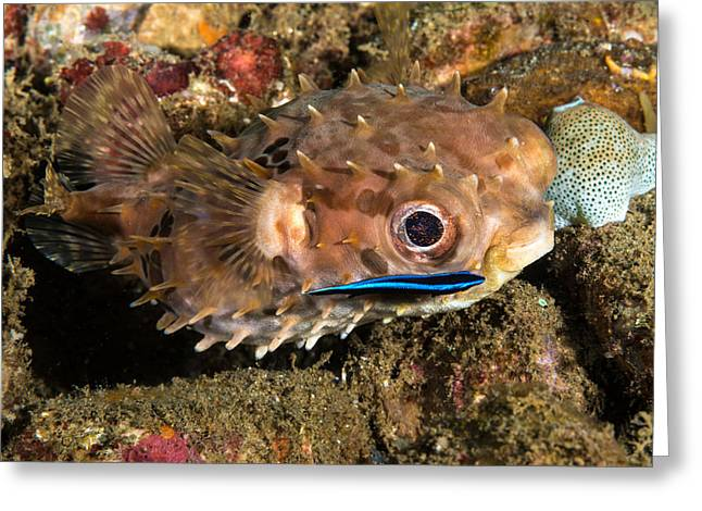 Burrfish And Cleaner Goby Greeting Card by Andrew J. Martinez