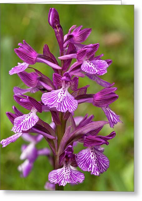 Butterfly Orchid (orchis Papilionacea) Greeting Card by Bob Gibbons