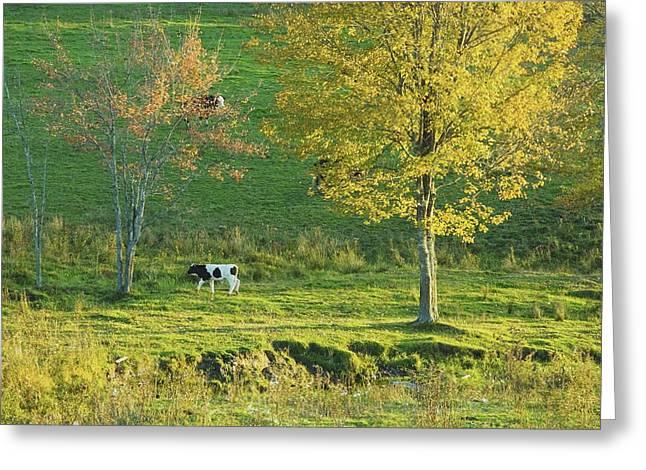 Calf On A Farm Fall Maine Greeting Card by Keith Webber Jr
