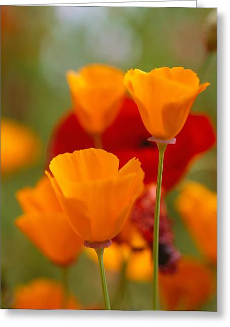 California Golden Poppies Eschscholzia Greeting Card by Panoramic Images