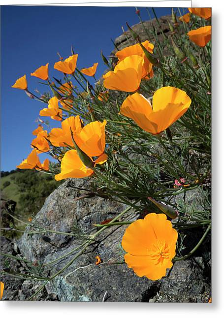 California Poppies, California Central Greeting Card by Rob Sheppard