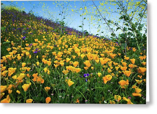 California Poppies Eschscholzia Greeting Card