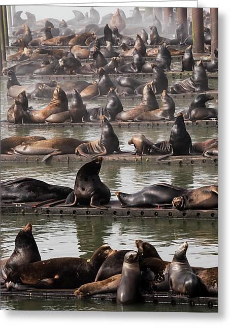 California Sea Lions  Zalophus Greeting Card by Robert L. Potts
