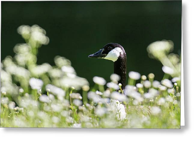 Canada Goose (branta Canadensis Greeting Card by Martin Zwick