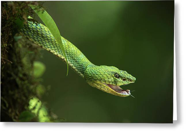 Captive Eyelash Viper (bothriechis Greeting Card by Pete Oxford