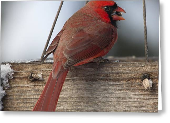 Cardinal Greeting Card by John Kunze