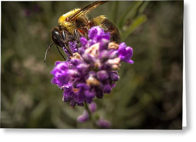 Carpenter Bee On A Lavender Spike Greeting Card