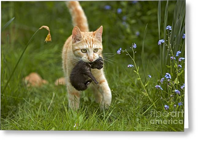 Cat Carrying Kitten Greeting Card by Jean-Michel Labat