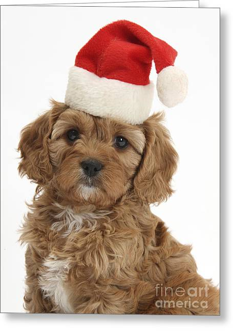 Cavapoo Puppy In Christmas Hat Greeting Card