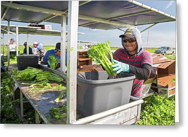 Celery Harvest Greeting Card by Jim West