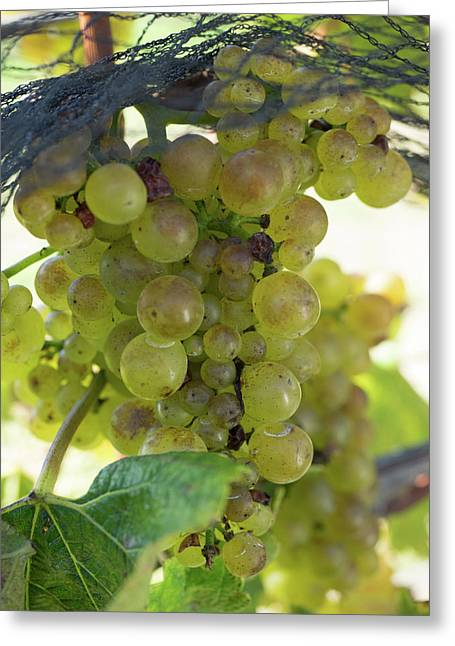 Chardonnay Grapes On Vine Greeting Card